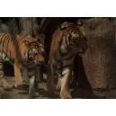 Tiger usurijský