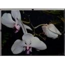 Orchidey Clip Rám 7.