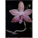 Orchidey Clip Rám 2.